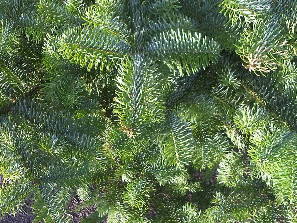 noble-fir-for-our-trees-section