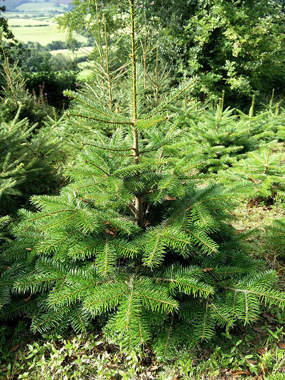 nordman-fir-4ft-for-our-trees-section