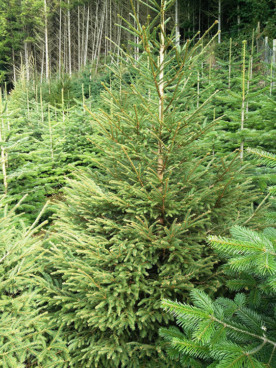 norway-spruce-for-our-trees-section