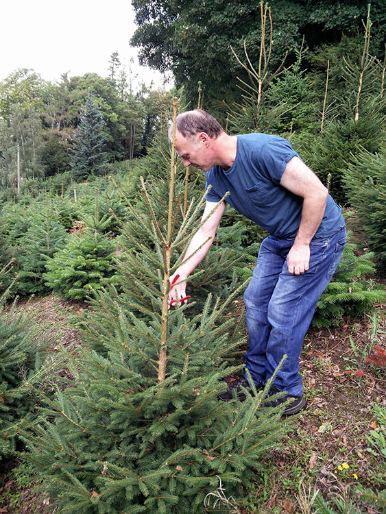 me-pruning-norway-spruce-for-gallery-section